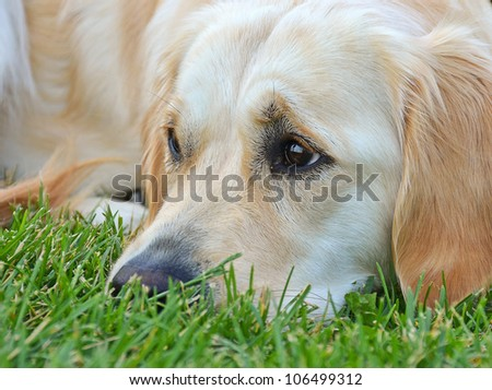 golden retriever laying in the grass - stock photo