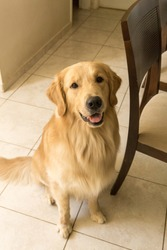 Golden Retriever looking at the camera in his house