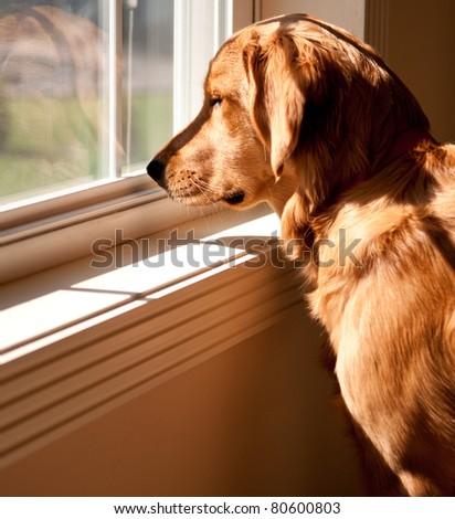 Golden Retriever Looking Out A Window