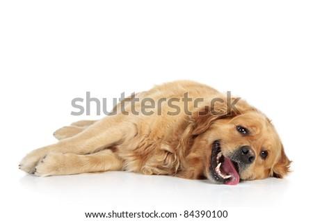Golden Retriever lying on a white background