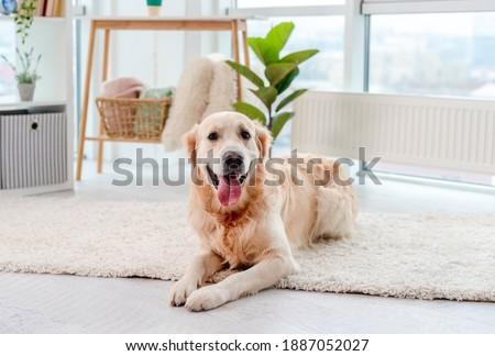 Golden retriever lying on light floor Photo stock ©