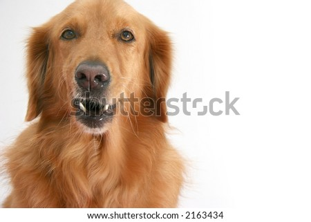 Golden retriever making a semi growl face