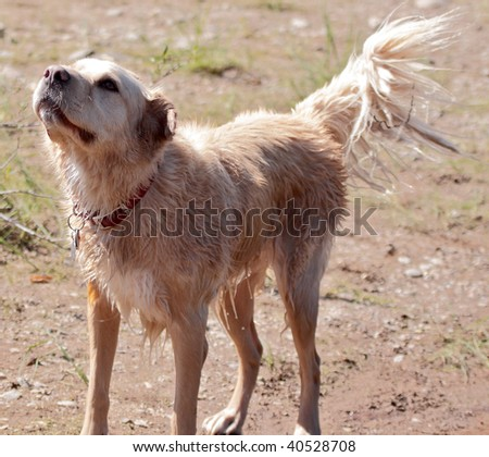 Golden retriever mix breed wagging tail