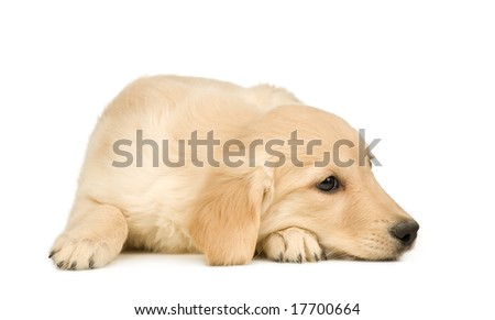 Golden Retriever (3 months) in front of a white background