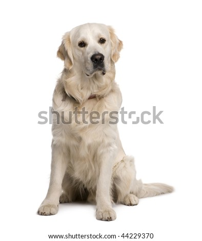 Golden retriever, 20 months old, sitting in front of white background