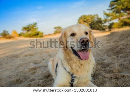 Golden retriever on a sunny autumn day #1302001813