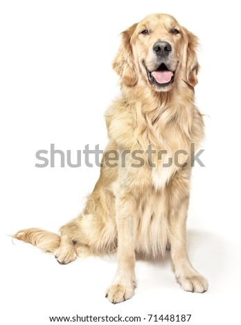 Golden Retriever On A White Background