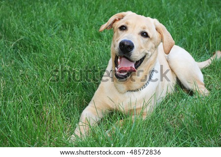 Golden retriever on the green grass