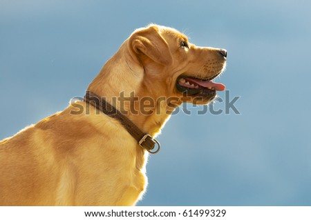 golden retriever on the sky background