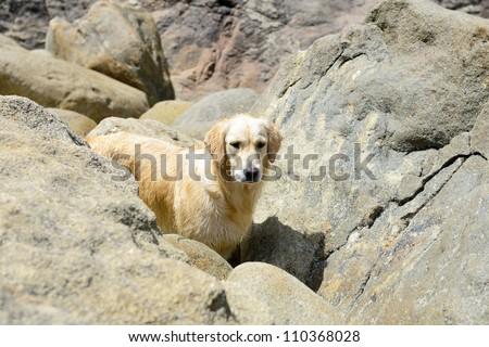 golden retriever outdoors on rocky beach