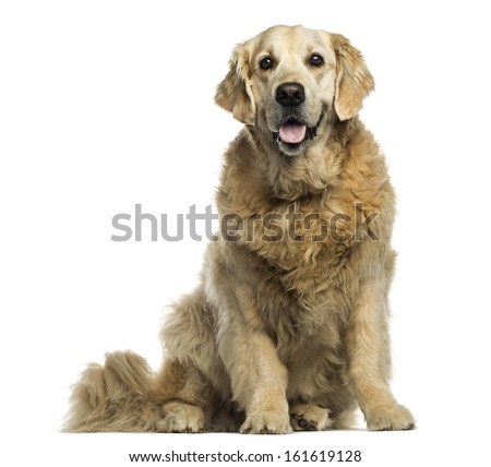 Golden Retriever Panting Sitting Isolated On White Ez Canvas