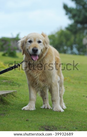 Golden retriever patiently waiting for owner
