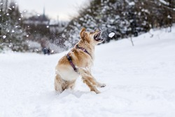 Golden Retriever playing in the snow and catching snow balls
