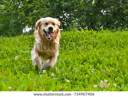 golden retriever playing on the summer lawn, funny playfull dog #734907406