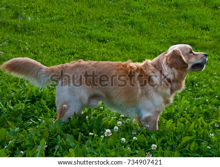 golden retriever playing on the summer lawn, funny playfull dog #734907421