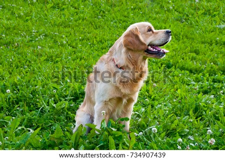 golden retriever playing on the summer lawn, funny playfull dog #734907439