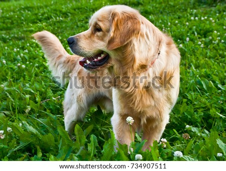 golden retriever playing on the summer lawn, funny playfull dog #734907511