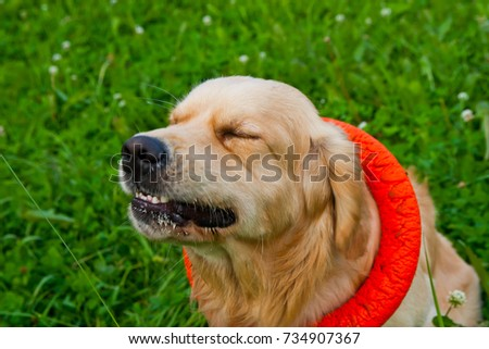 golden retriever playing with puller on the summer lawn, funny playfull dog #734907367