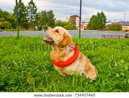golden retriever playing with puller on the summer lawn, funny playfull dog #734907460