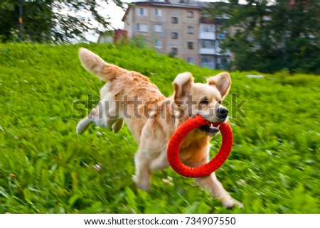 golden retriever playing with puller on the summer lawn, funny playfull dog #734907550