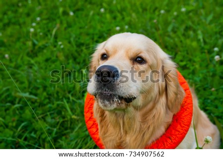golden retriever playing with puller on the summer lawn, funny playfull dog #734907562