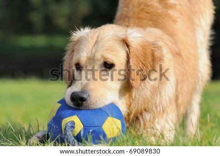 Golden Retriever plays with the ball