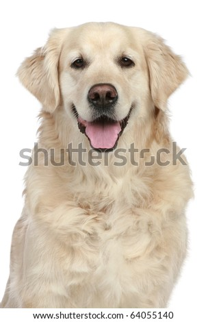 Golden Retriever portrait isolated on a white background