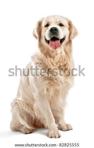 Golden retriever posing in studio.