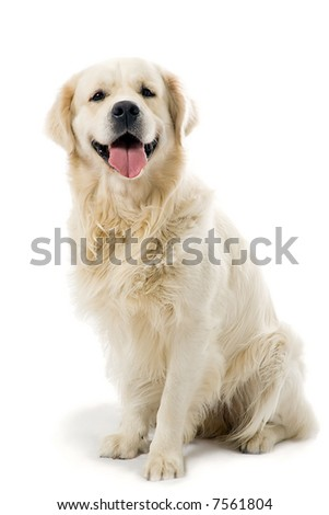 golden retriever posing in studio. Isolated on white