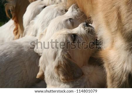 Golden retriever puppies feeding. - stock photo