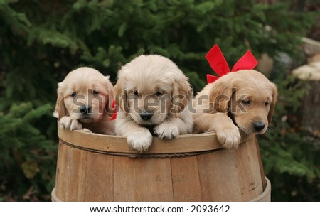 golden retriever puppies in barrel