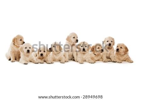 cute golden retriever puppy wallpapers. stock photo : Golden Retriever