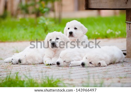 golden retriever puppies resting together