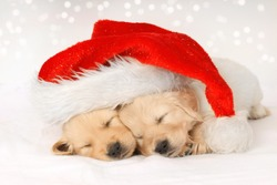 Golden retriever puppies sleeping under a christmas hat