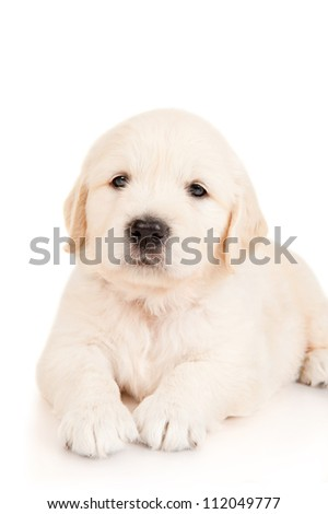 Golden retriever puppy - stock photo