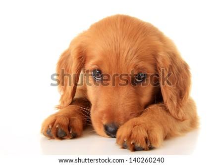 Golden retriever puppy. #140260240