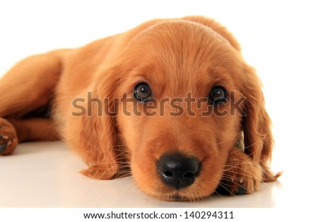 Golden retriever puppy. - stock photo