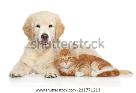 Golden Retriever puppy and kitten posing on white background. Cat and dog series