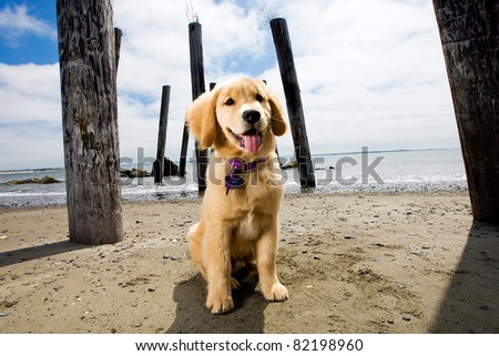 Golden Retriever Puppy at the Beach
