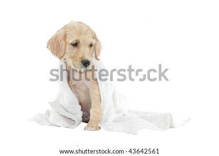 golden retriever puppy being dried with a towel, isolated on white