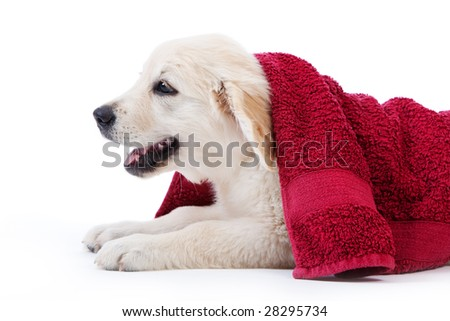 Golden retriever puppy covered by towel after bath