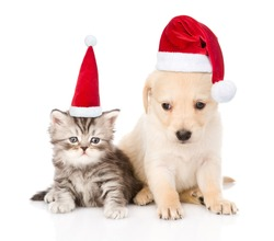Golden retriever puppy dog and tabby cat with red christmas hats sitting together. isolated on white background