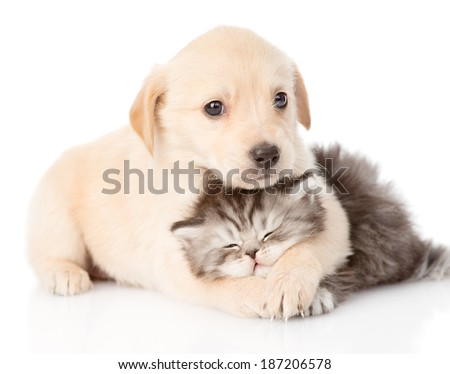 golden retriever puppy dog hugging british cat. isolated on white background stock photo