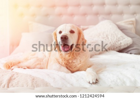 Golden retriever puppy dog in luxurious brightness classic style bedroom with king-size bed and bedside table. Pets friendly  hotel or home room. Sunny day solar bright effect. #1212424594