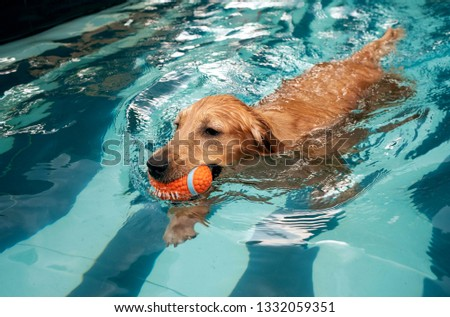 golden retriever puppy enjoying at the pool #1332059351