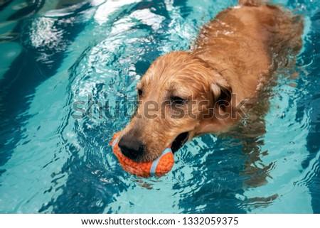 golden retriever puppy enjoying at the pool #1332059375