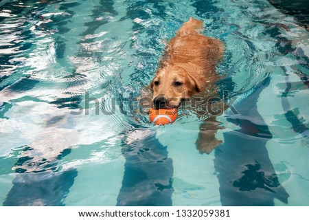 golden retriever puppy enjoying at the pool #1332059381