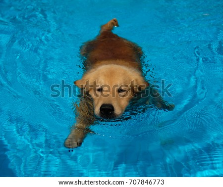 Golden Retriever Puppy Exercise in Swimming Pool #707846773