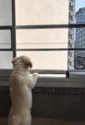 golden retriever puppy gazing outside