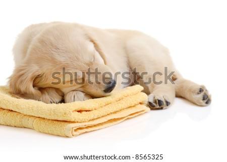 golden retriever puppy running. stock photo : Golden retriever puppy having a nap